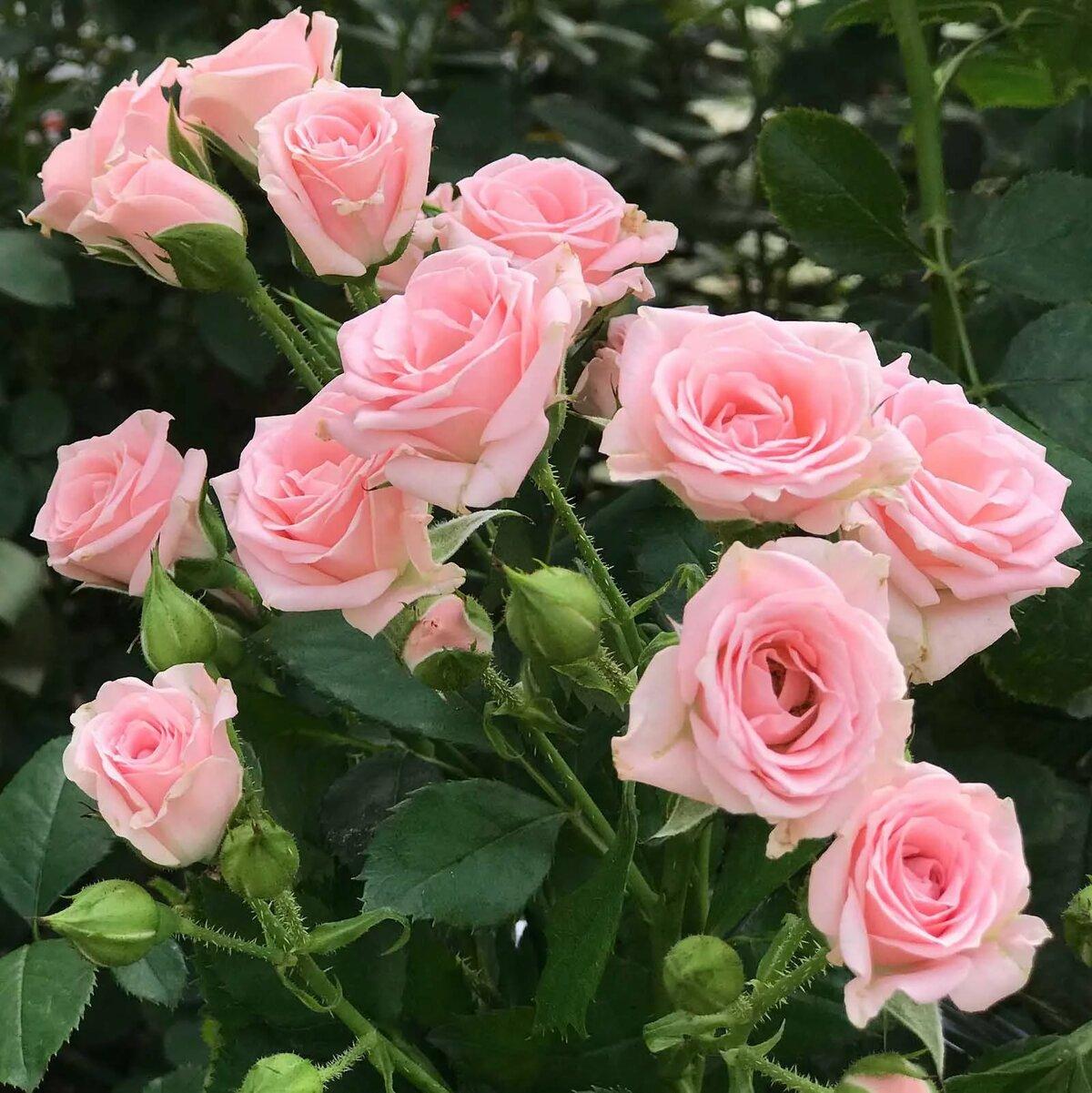 хостинг фото розы найдётся всего несколько